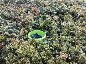 Planinske borovnice i brusnice(borovnica i brusnica)