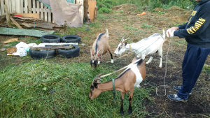 koze  i   jare