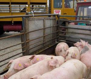 svinje od 20 - 150 kg