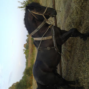 Konj kobila zdrijebe
