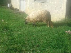 Prodajem 3 janjeta i jednu ovcu