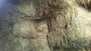 Balirano sijeno dobro osušeno i uskladišteno