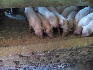 Prasad,prasci 25-35 kg, svinje