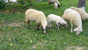ovca i musko jagnje