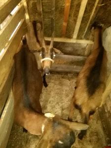Prodajem Alpske koze