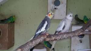 Papagaji, tigrice,pjevajuci,nimfe
