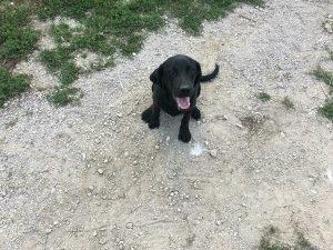 Labradora muzjak