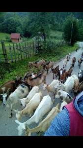 Prodajem koze akcija po 100km