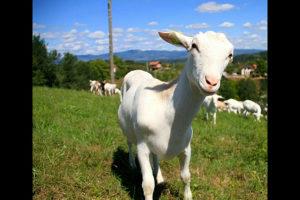 Koze Vrlo povoljno