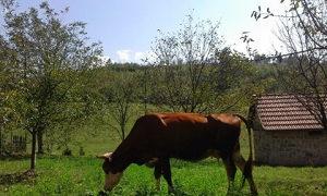 krava muzara