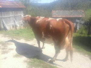 Na prodaju steona krava