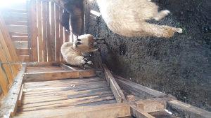 Mlada ovca sa zenskim janjetom