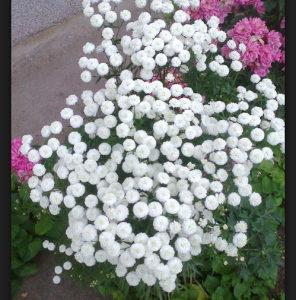 Gipsophila elegance - (150 sjemenki)