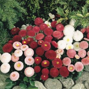 Bellis perennis mix - (150 sjemena)