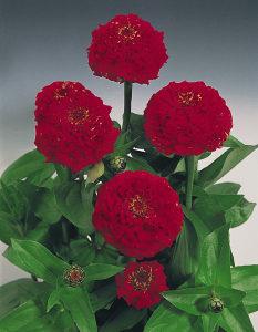 Zinnia el. crveni (30 sjemenki)