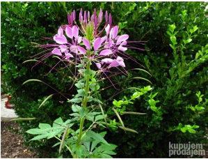 Cleoma roza (60 sjemena)