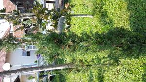 Tise, sadnice za žive ograde