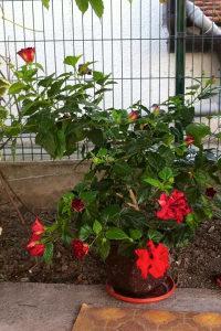Japanska ruža hibiskus