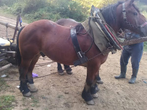 Konji radni u paru