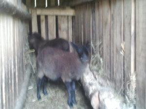 romanovski ovnici ovcica