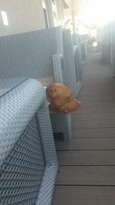 Americki pit bull terrier rednose