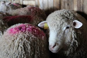 priplodne sjagnjene Rasne Ovce