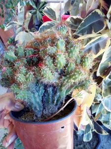 Cvijeće cvijet kaktus 02 cvet za baštu balkon