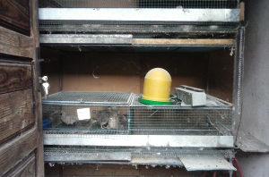 Japanske prepelice i kavez za prepelice