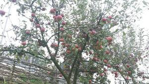 Jabuka domaca neprskana