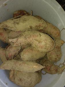 Batat, slatki krompir