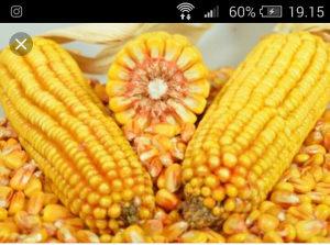 Kukuruz hibrid