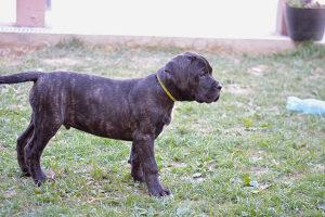 Cane Corso muško štene na prodaju