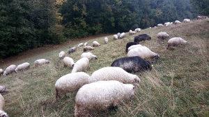 Sjajne i mlade ovce
