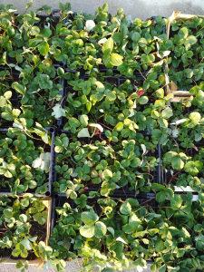Jagode - sadnice jagoda - Asia - rinfuz