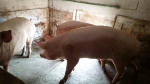 Tovne svinje hranjene domacom hranom tezina 180-200 kg
