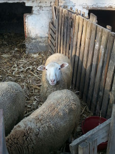 ilde franc ovce