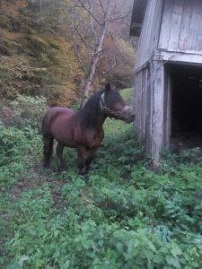 Konj radni