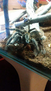 Kucni ljubimacTarantula pauk sa kavezom