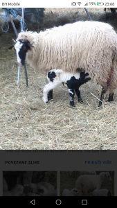 Janjad ovce