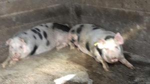Svinje 2 muška oko 130 kg