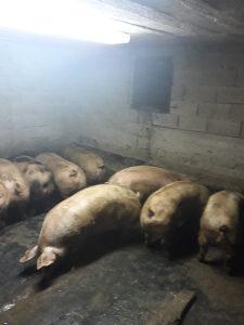 Svinje tovljenici,tovne svinje
