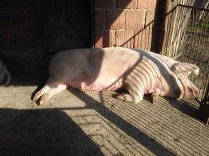 Tovna svinja iz seoskog domaćinstva