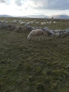 Prodajem ovcu slovensku