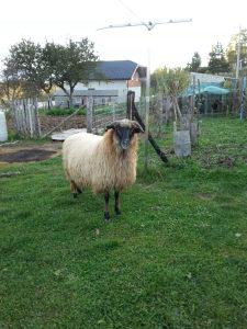 Ovca i jarac