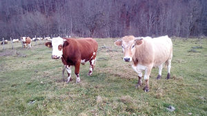 Bikovi bik volovi