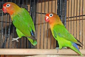 Papagaji Fiseri
