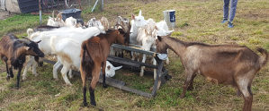 Sjarne koze