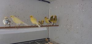 Ptice kanarinci